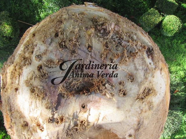 Plaga del picudo rojo jardineria nima verda for Jardineria la noguera